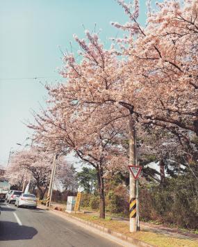 Đúng 1/4/2016, Joon Young cũng đi ghi hình 2 Days 1 Night tại đảo Jeju và update ảnh hoa anh đào nở trên Instagram kèm caption '🌸🌸' đồng thời check-in '제주도 Jeju Island' | photo: IG @sun4finger (1/4/2016)